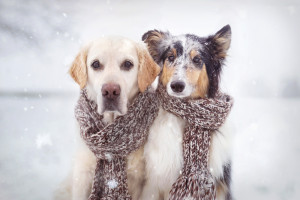 frusna hundar